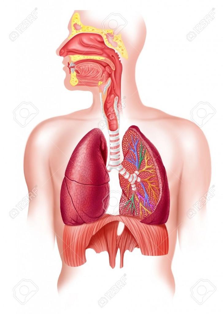 Arbre respiratoire pulmonaire