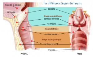 differents-etages-du-larynx