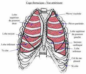 thorax10